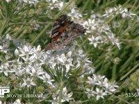 ヒメアカタテハ ニラの花にとまり蜜を吸う