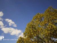 青空と雲と木 微速度撮影 大きな木と青空に流れる白い雲
