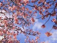 青空と雲と桜 移動微速度撮影 満開の緋寒桜 電動ドリーでのモーションタイムラプス