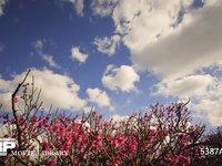 青空と雲と梅 微速度撮影 満開の梅林と雲の流れ