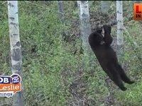 Black Bear Tries The Rope Climb