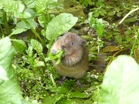 Vimeo - Juvenile Water Vole having a wash