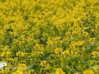 菜の花畑 一面の菜の花畑 満開