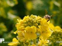 菜の花とミツバチ 菜の花の蜜を集めるミツバチ