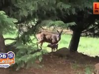 Momma Deer Watches as Fawn is Rescued