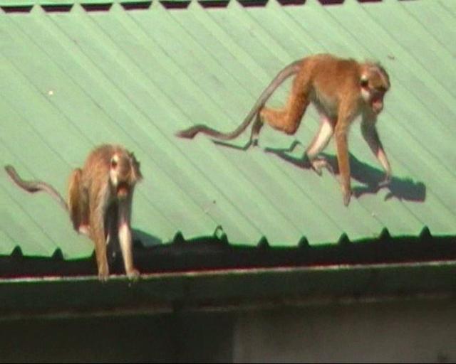 Monkeys on a Hot Tin Roof