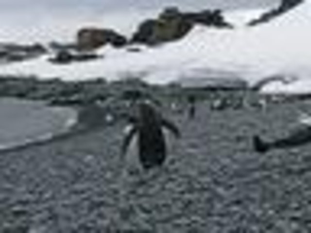 Gentoo penguins greet