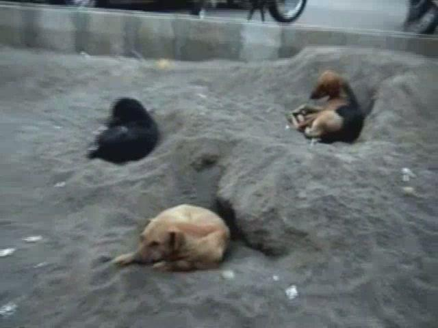 Desi Dogs