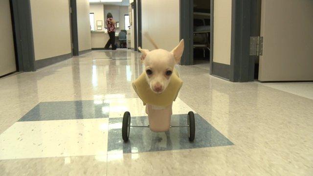 Two-legged dog gets her wheels
