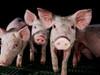 Igualdad Animal - Granjas de cerdos