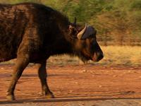 Buffalo Warrior - NatGeo
