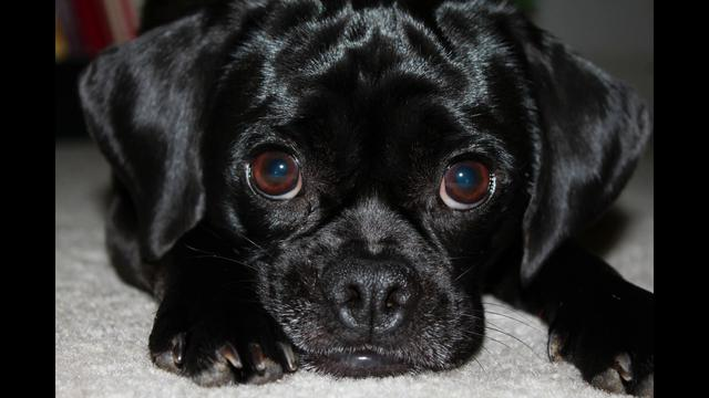 Puggle Dog Names Black Puggle Black Puggle Dogs