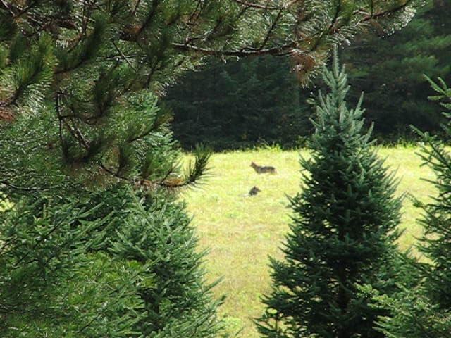 NH Coy Dogs (Coyote), Franconia NH USA on Vimeo Coyote