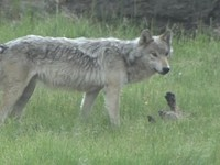 Restore the Balance: The Case for the Wolves in the Rockies