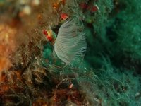 Anellide serpulide bianco - secca delle stelle (Liguria)