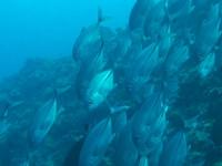 Blue Corner  (Palau)